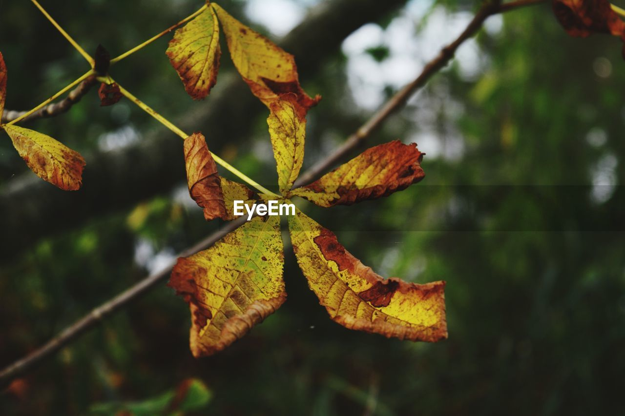 leaf, autumn, change, focus on foreground, nature, day, outdoors, maple, close-up, growth, maple leaf, beauty in nature, no people, tree