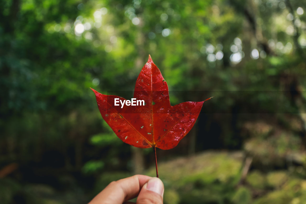 red, human hand, hand, holding, leaf, real people, one person, plant part, human body part, focus on foreground, finger, human finger, day, nature, close-up, maple leaf, unrecognizable person, plant, body part, personal perspective, change, outdoors, human limb, autumn collection