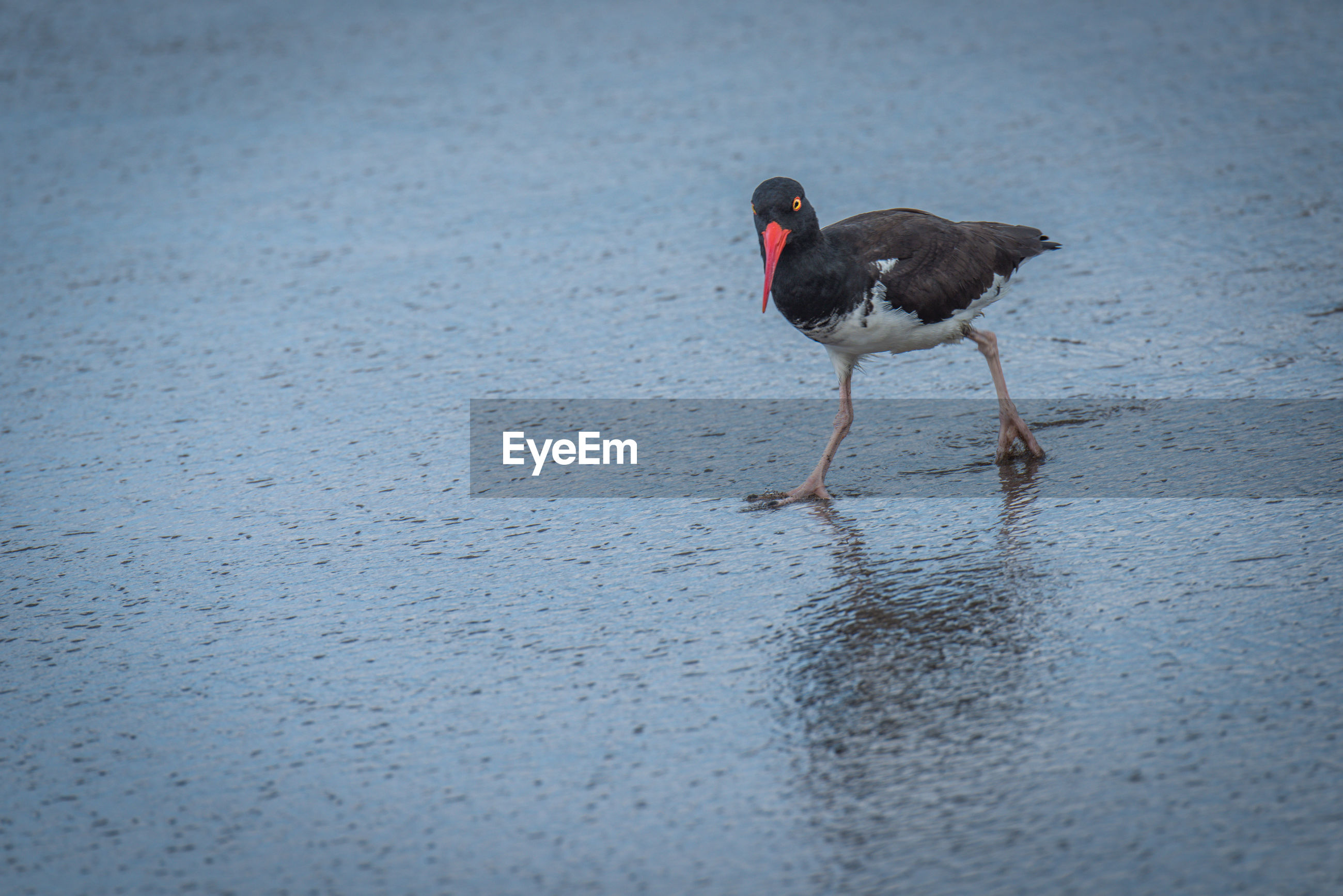 High angle view of oystercatcher at beach
