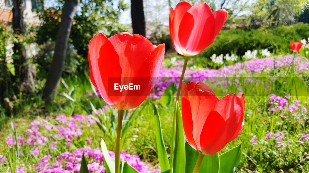 flower, flowering plant, plant, beauty in nature, vulnerability, growth, fragility, red, petal, freshness, tulip, close-up, inflorescence, flower head, nature, focus on foreground, no people, day, green color, field, pink color, springtime, outdoors, poppy, flowerbed, ornamental garden