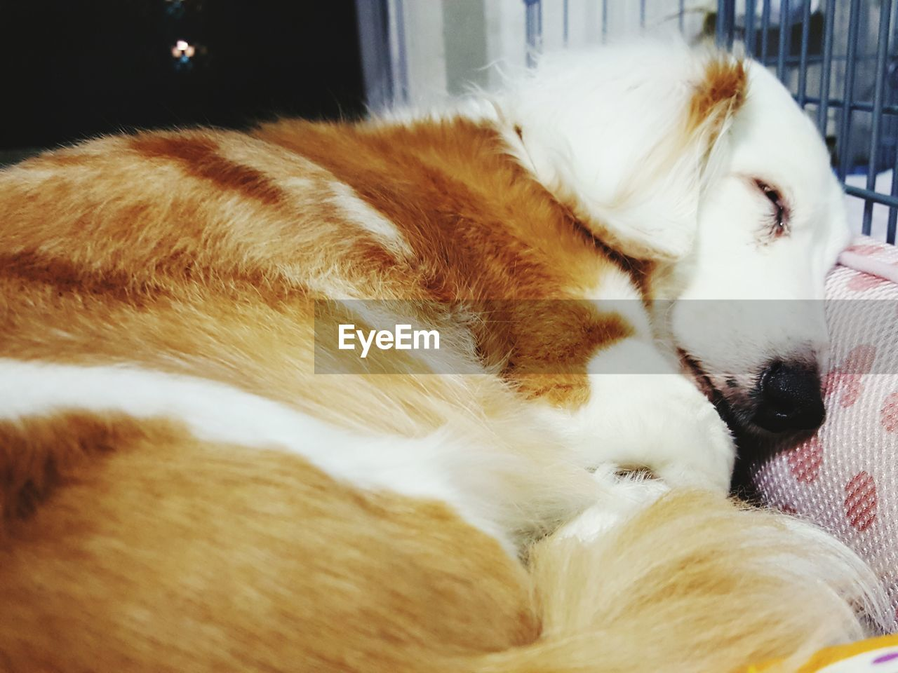 pets, domestic animals, animal themes, one animal, mammal, sleeping, eyes closed, relaxation, dog, resting, indoors, lying down, close-up, no people, day