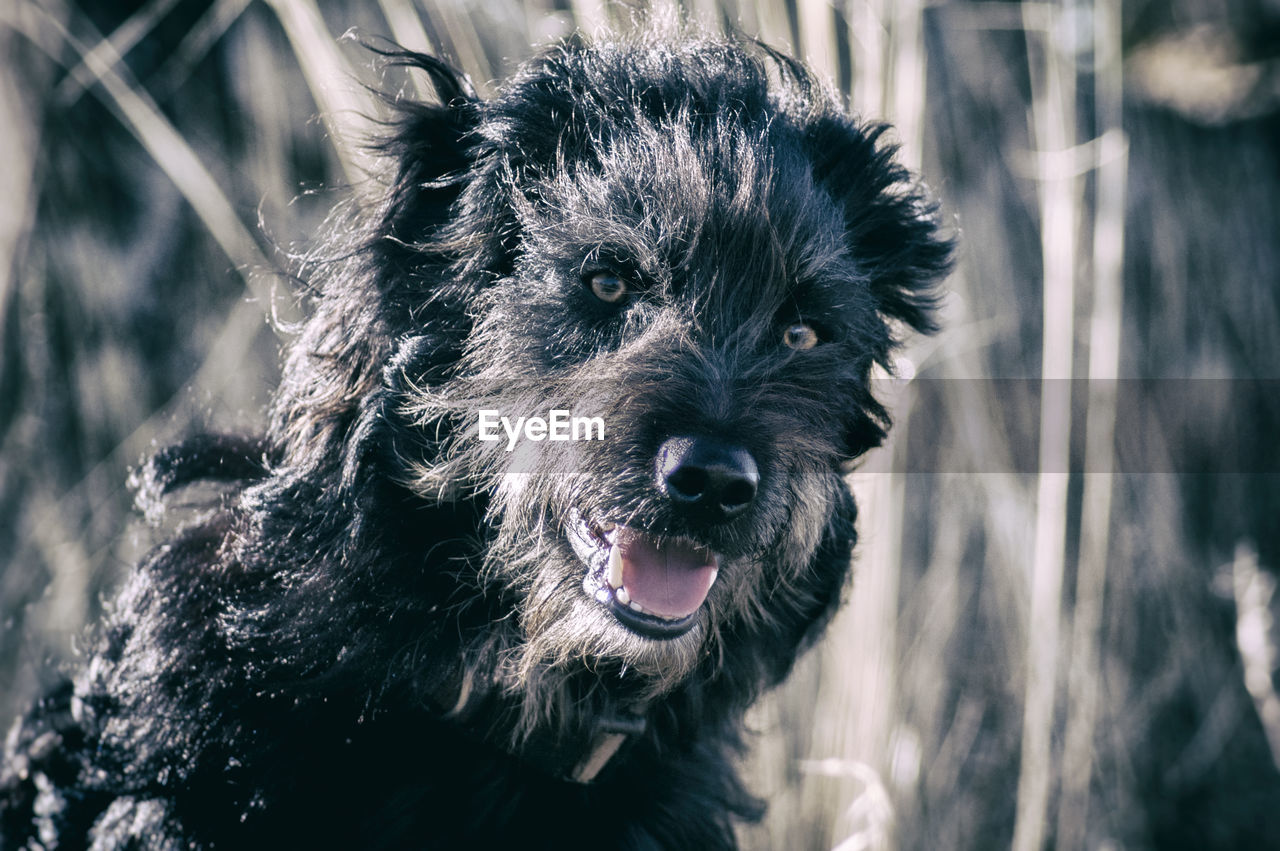 dog, canine, one animal, pets, animal themes, domestic animals, domestic, mammal, animal, vertebrate, focus on foreground, portrait, day, looking at camera, close-up, animal hair, nature, land, animal body part, field, animal head, mouth open, snout