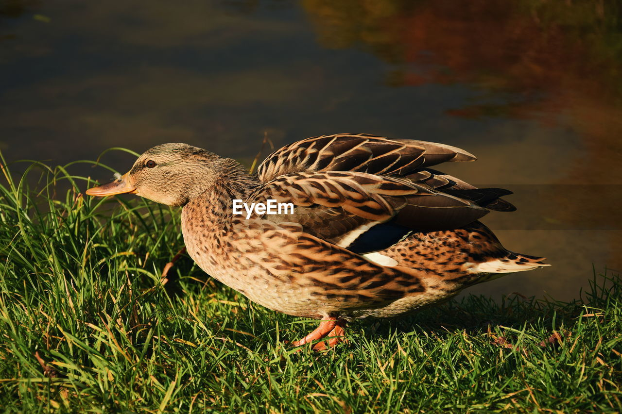 animal themes, bird, animal wildlife, animal, animals in the wild, vertebrate, grass, nature, duck, field, one animal, plant, land, poultry, day, no people, mallard duck, female animal, side view, outdoors