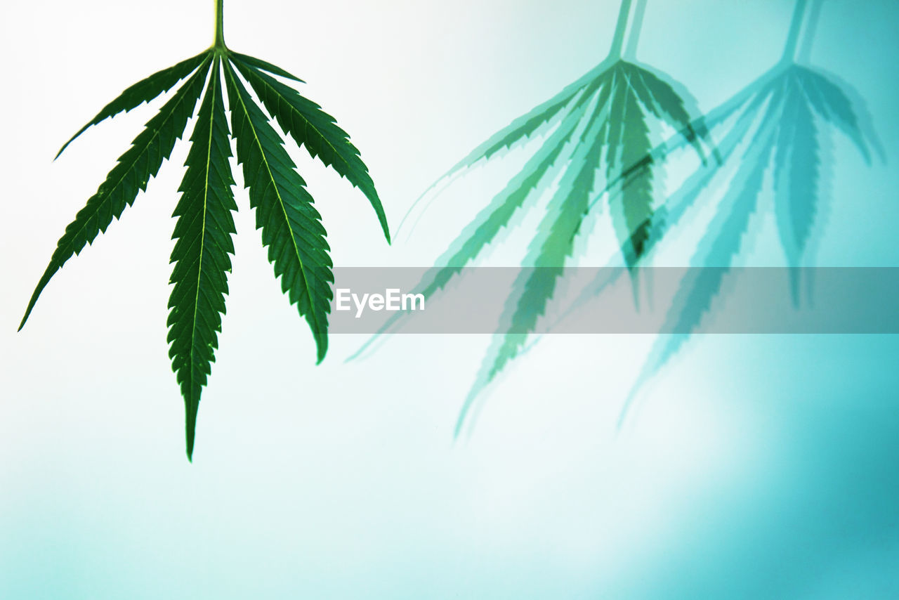 leaf, plant part, green color, growth, plant, no people, nature, close-up, beauty in nature, freshness, medicine, day, herb, marijuana - herbal cannabis, white background, studio shot, healthcare and medicine, focus on foreground, outdoors, selective focus