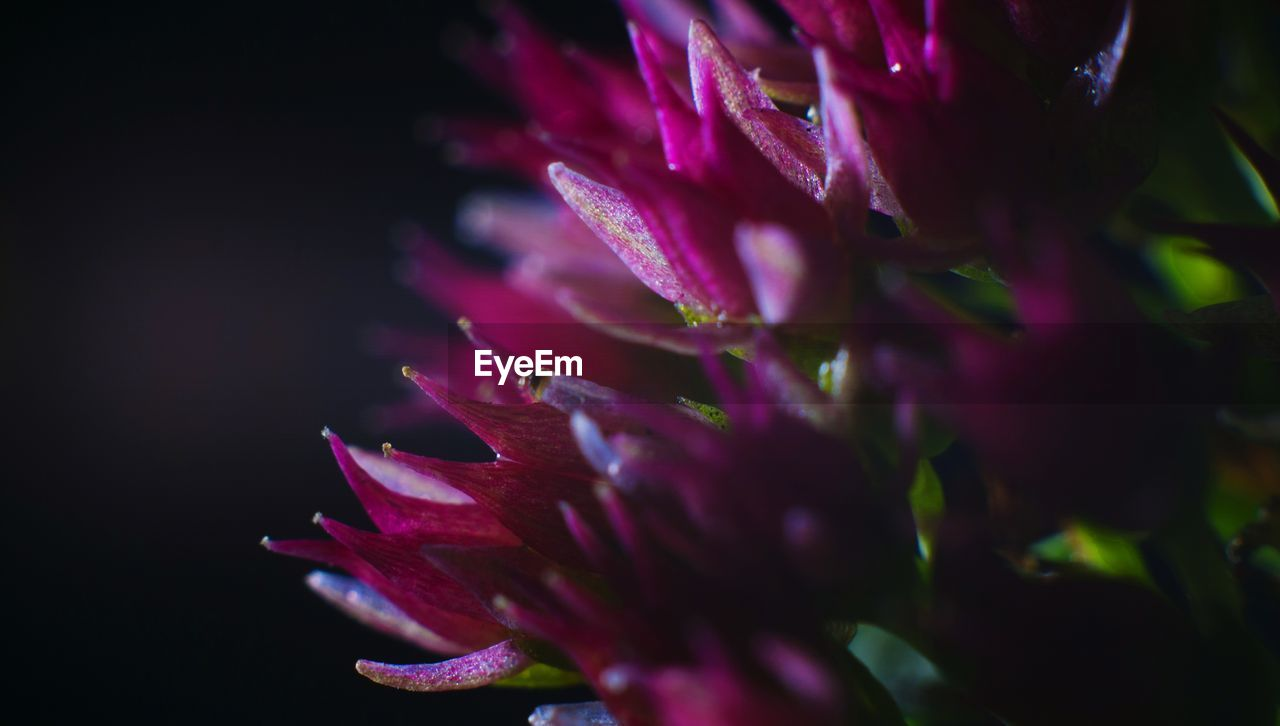beauty in nature, close-up, flower, vulnerability, plant, flowering plant, fragility, freshness, selective focus, growth, nature, petal, purple, inflorescence, flower head, no people, pink color, outdoors, day, botany