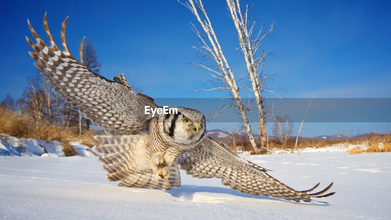 winter, snow, animal, animal themes, cold temperature, animals in the wild, animal wildlife, vertebrate, nature, bird of prey, one animal, flying, sky, day, no people, bird, spread wings, owl, sunlight