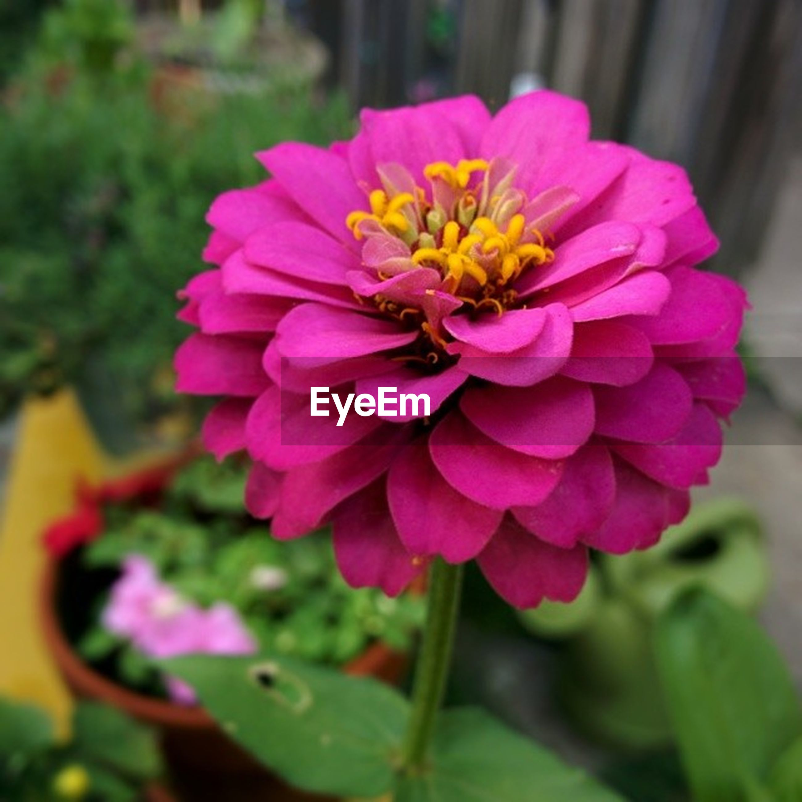 flower, petal, freshness, flower head, fragility, close-up, focus on foreground, beauty in nature, growth, pink color, blooming, single flower, nature, plant, in bloom, pollen, purple, day, selective focus, blossom