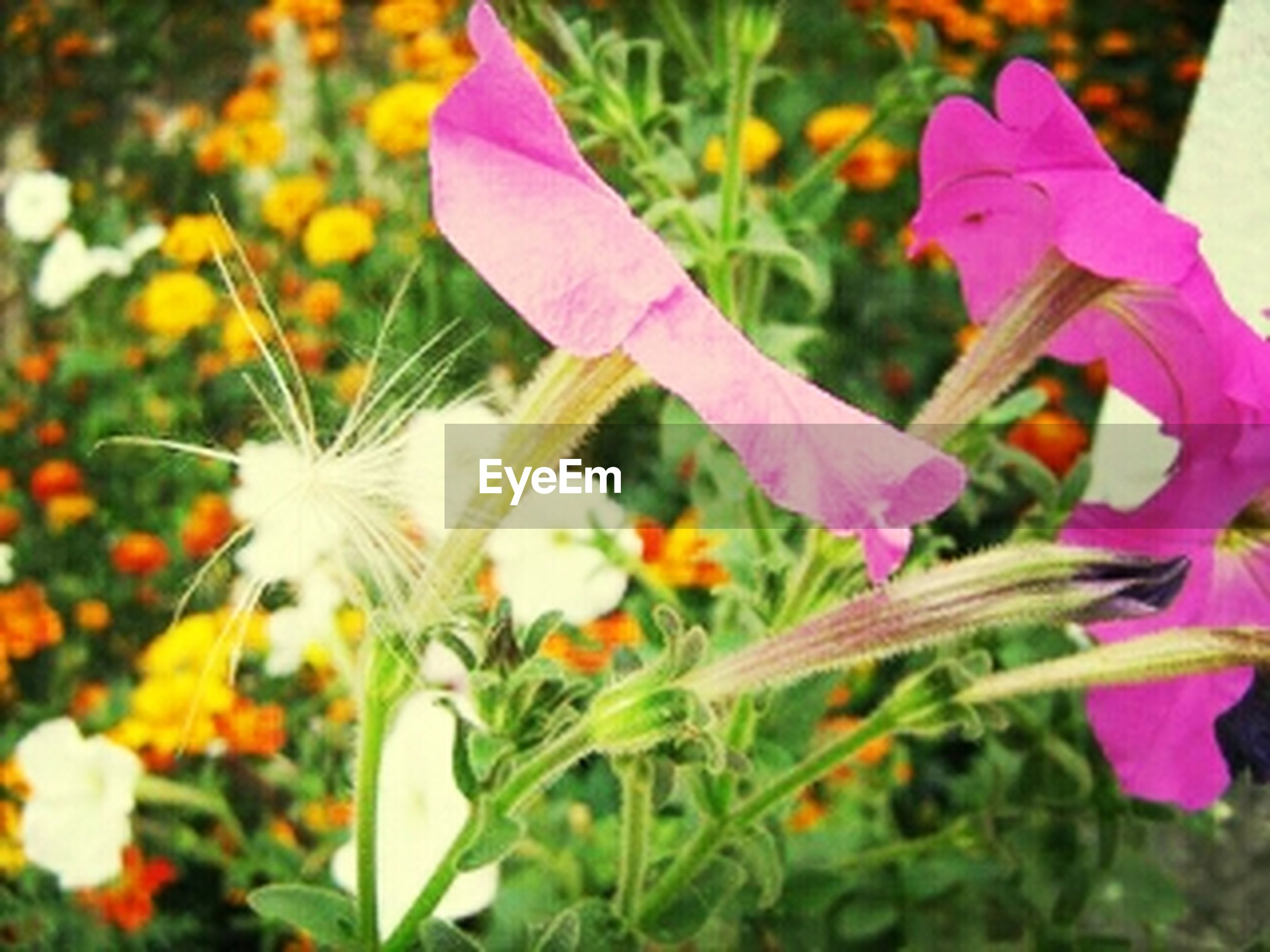 flower, freshness, petal, fragility, flower head, growth, beauty in nature, blooming, plant, focus on foreground, nature, close-up, stem, field, purple, in bloom, selective focus, pollen, day, pink color