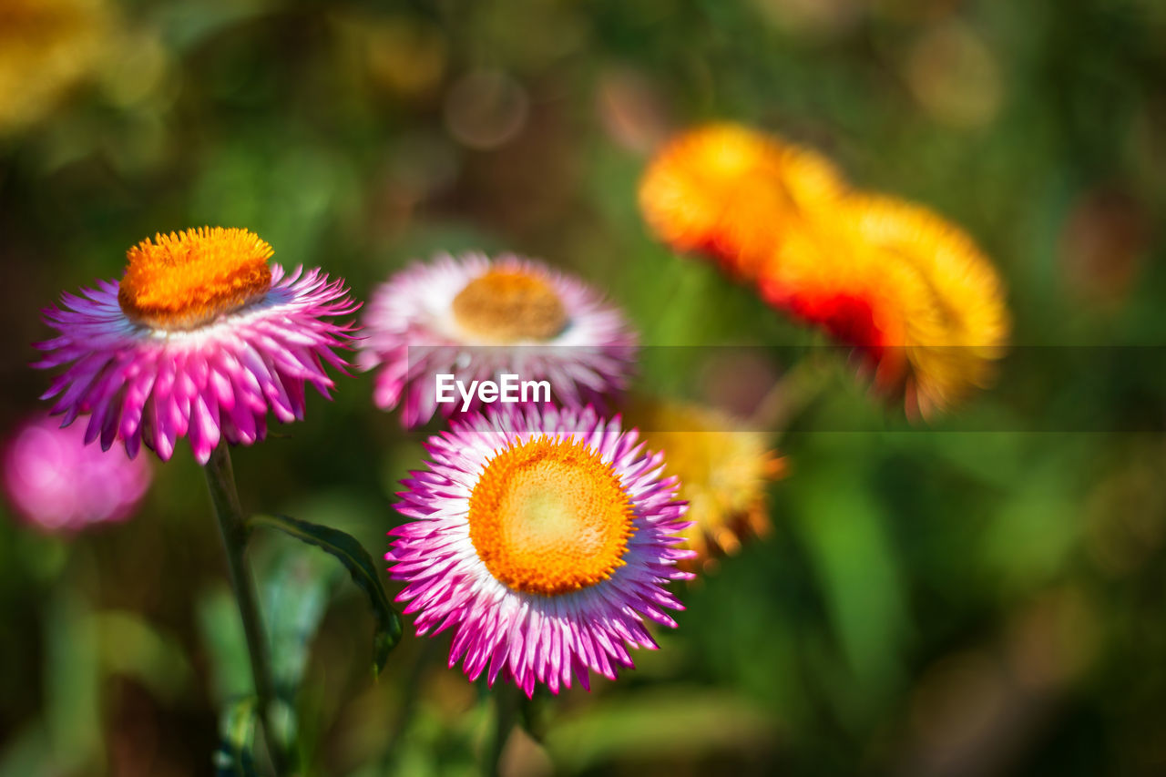 flowering plant, flower, plant, fragility, beauty in nature, vulnerability, freshness, growth, close-up, flower head, inflorescence, petal, focus on foreground, nature, no people, selective focus, day, botany, yellow, pollen, purple