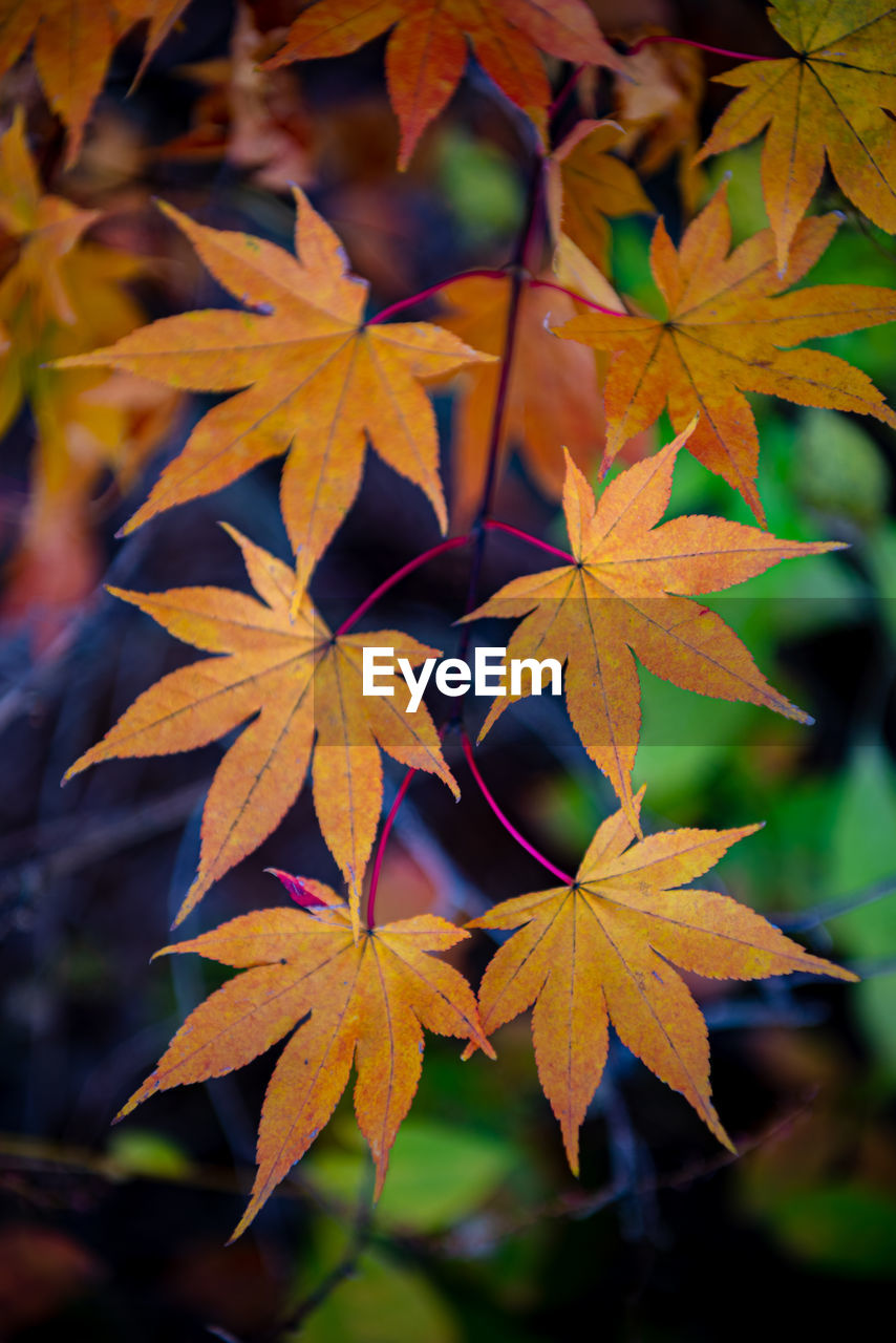plant part, leaf, autumn, change, maple leaf, plant, close-up, beauty in nature, leaves, nature, no people, growth, maple tree, orange color, day, focus on foreground, outdoors, tree, vulnerability, selective focus, natural condition