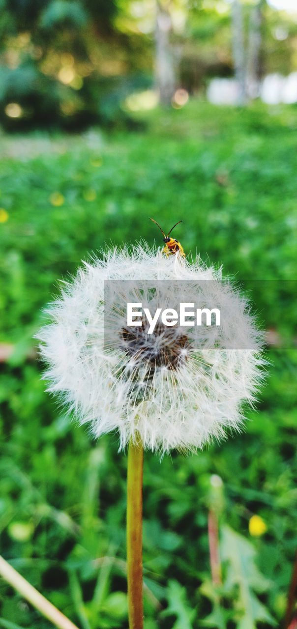 plant, freshness, focus on foreground, growth, flower, close-up, fragility, beauty in nature, flowering plant, vulnerability, dandelion, day, invertebrate, nature, insect, no people, land, field, outdoors, flower head, softness, dandelion seed