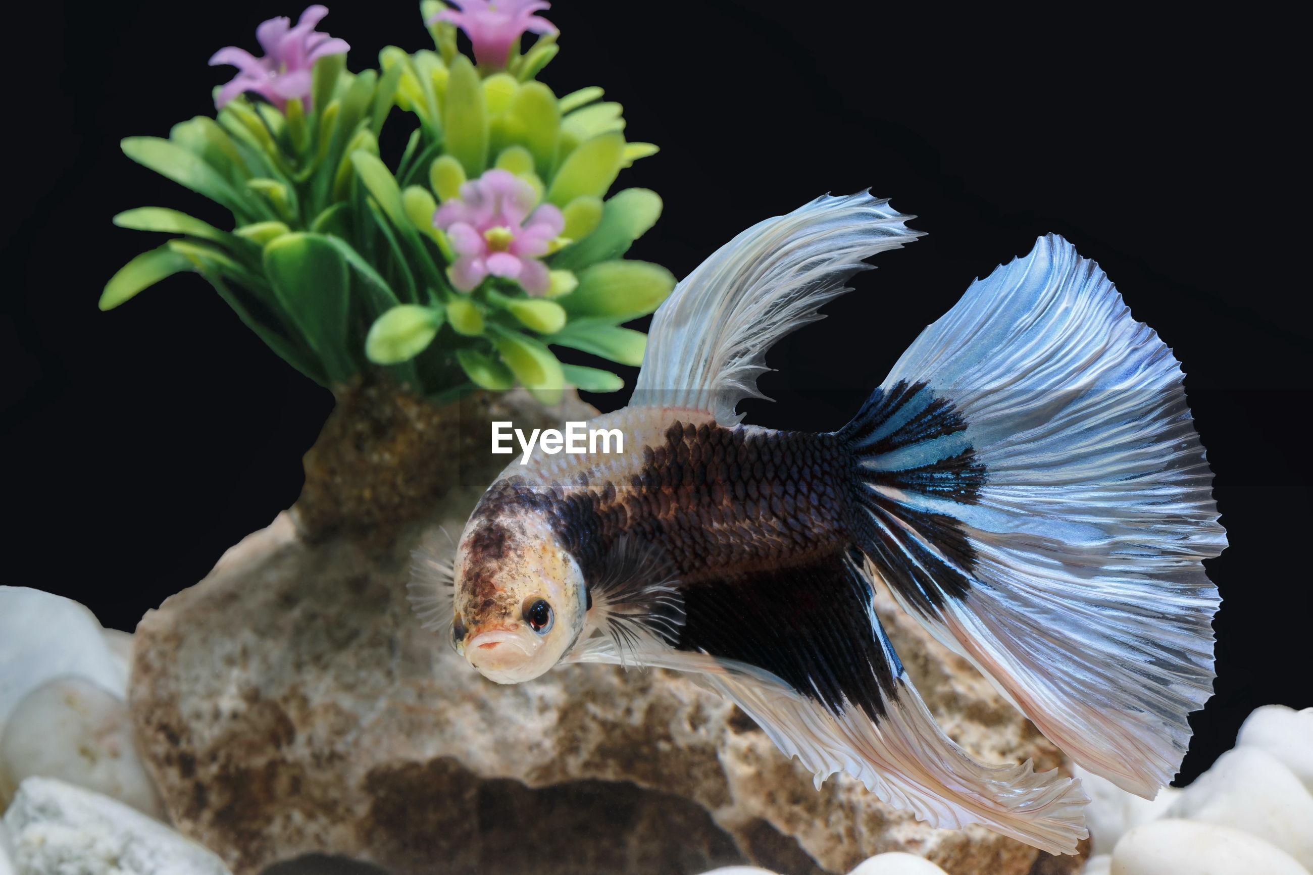 Siamese fighting fish, betta splendens, colorful fish on a black background, halfmoon betta.