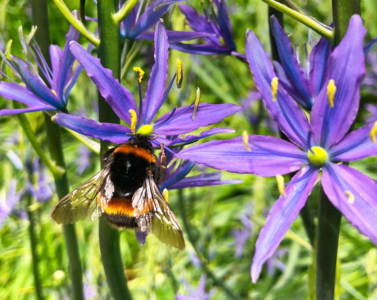 flowering plant, flower, plant, invertebrate, animal themes, insect, one animal, bee, animals in the wild, beauty in nature, animal wildlife, fragility, petal, animal, vulnerability, growth, flower head, freshness, close-up, pollination, bumblebee, purple, no people, pollen
