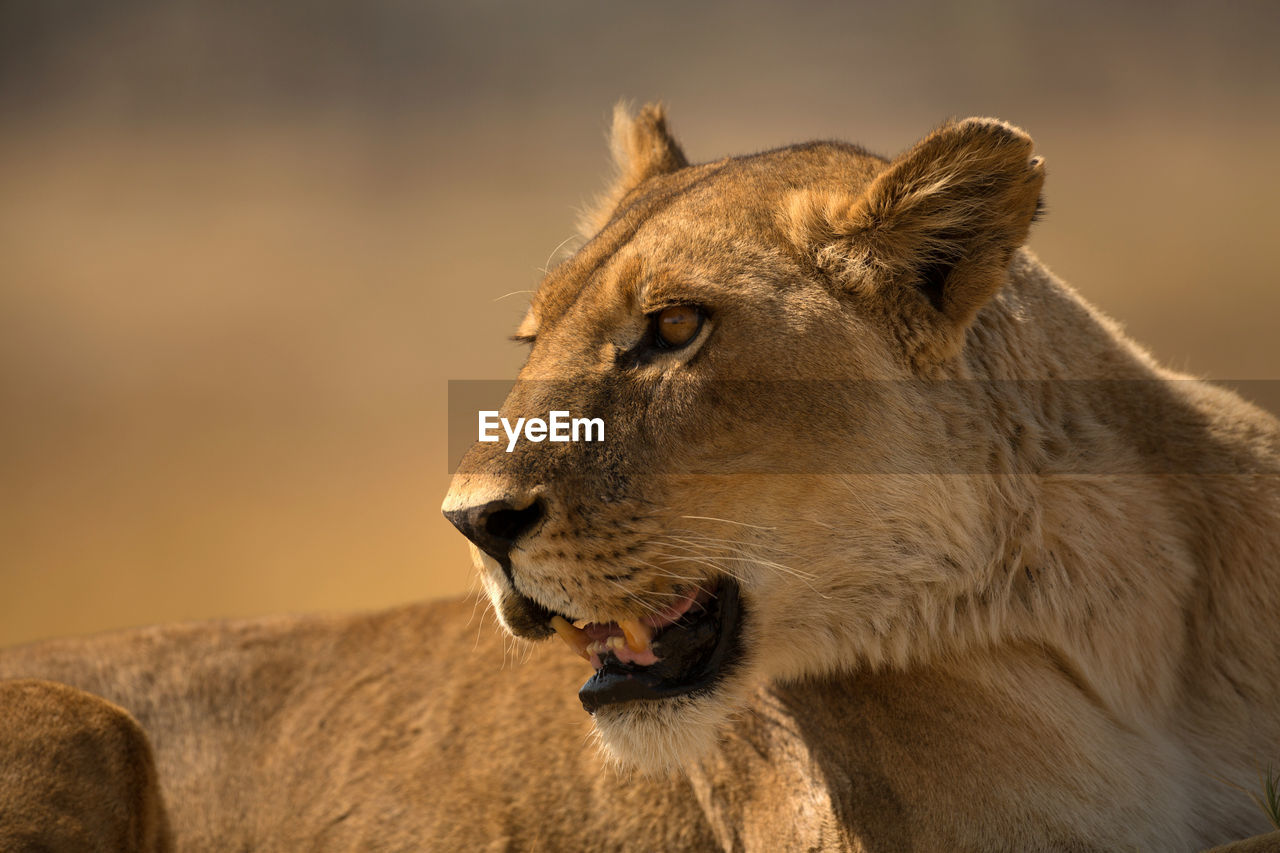 Close-Up Of Lioness Looking Away