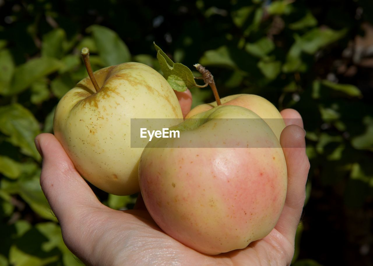 fruit, healthy eating, human hand, food and drink, food, hand, human body part, wellbeing, freshness, holding, one person, close-up, focus on foreground, real people, green color, apple - fruit, day, nature, unrecognizable person, finger, ripe