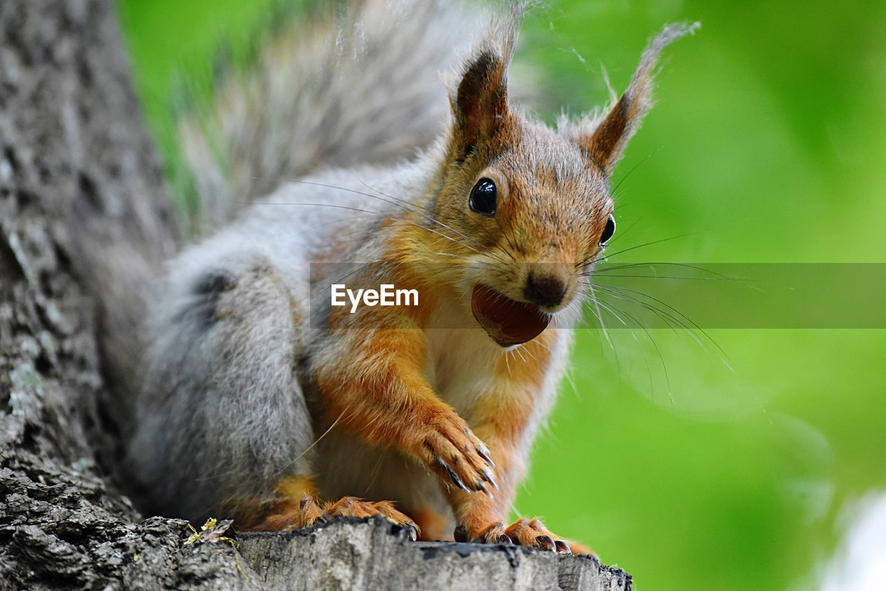 animal themes, animal, mammal, one animal, animal wildlife, rodent, animals in the wild, squirrel, close-up, no people, vertebrate, day, focus on foreground, nature, tree, nut, looking away, eating, outdoors, selective focus, whisker
