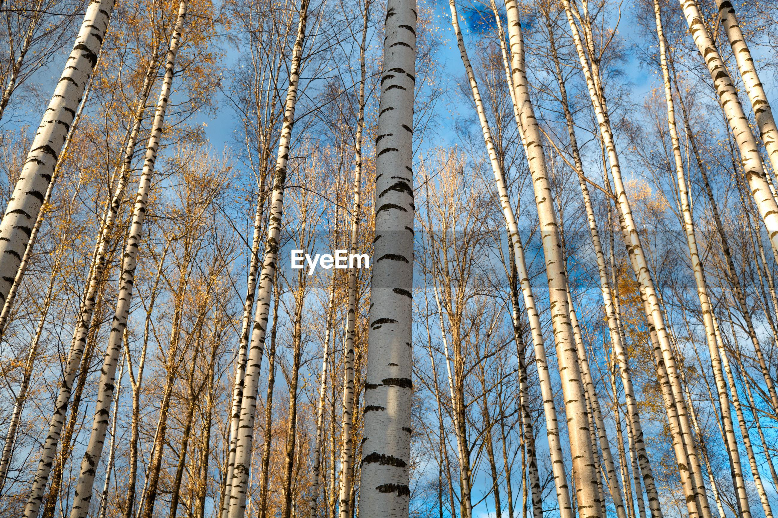 Full frame shot of birch trees in forest