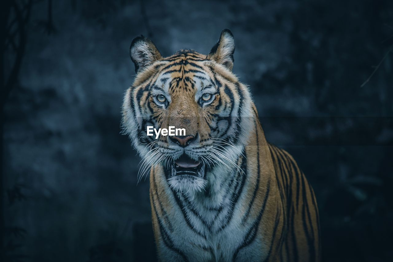 animal, animal themes, animal wildlife, big cat, feline, tiger, mammal, animals in the wild, one animal, cat, looking at camera, portrait, vertebrate, carnivora, no people, focus on foreground, nature, close-up, striped, whisker, animal head