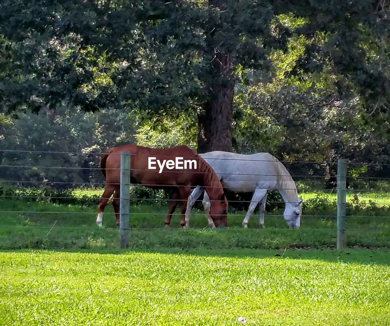 Horses grazing on field during sunny day