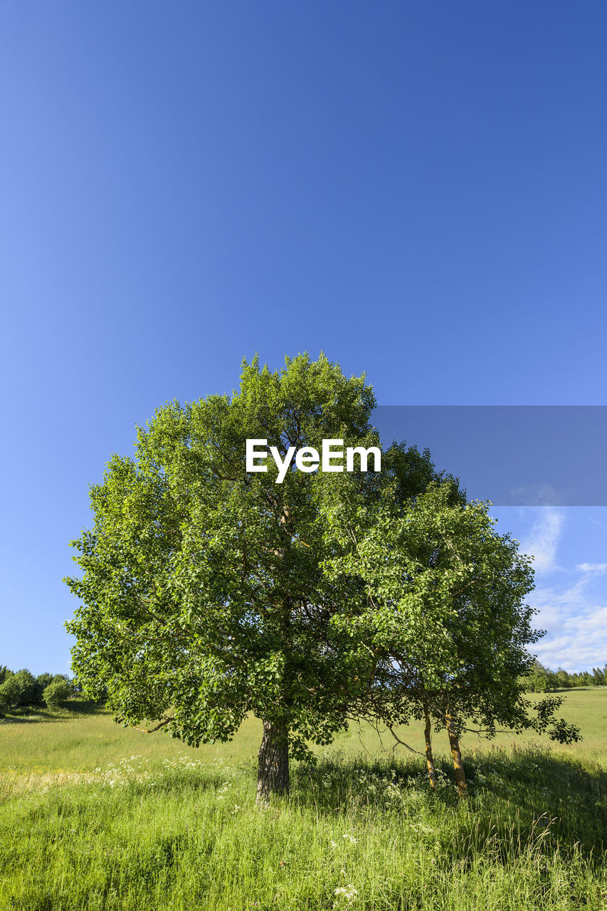 TREE AGAINST CLEAR SKY
