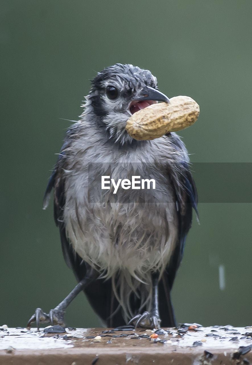 Close-Up Of Bird Eating Peanut