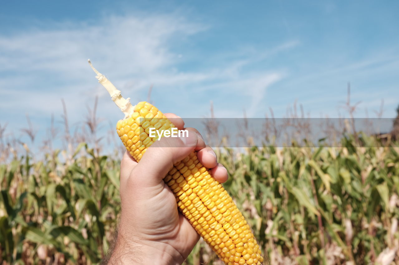 Cropped Image Of Hand Holding Sweetcorn On Field