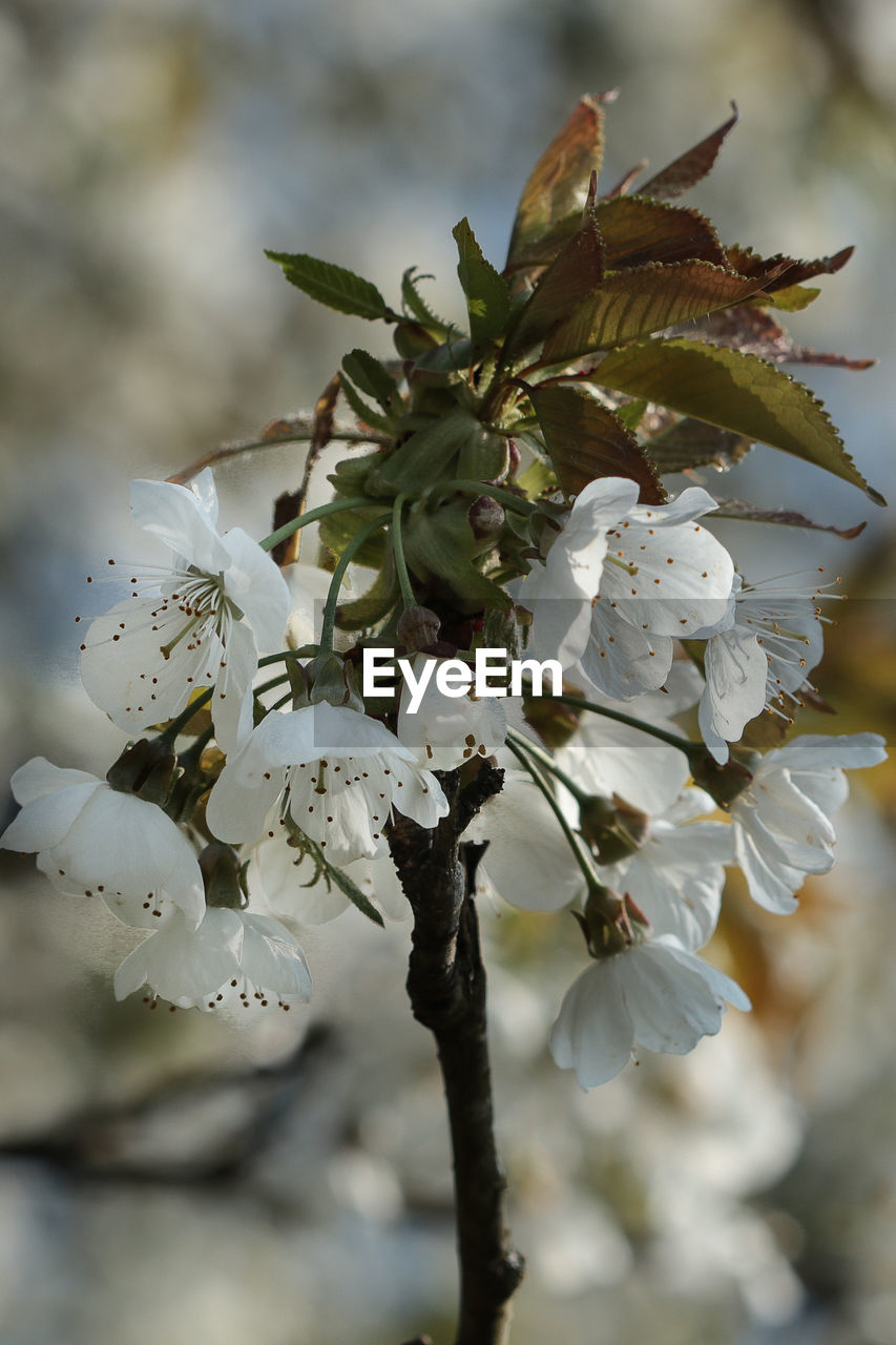 white color, flower, fragility, growth, nature, beauty in nature, petal, apple blossom, close-up, blossom, freshness, botany, tree, springtime, orchard, flower head, twig, no people, branch, day, focus on foreground, outdoors