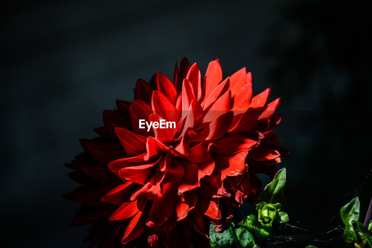 flower, fragility, vulnerability, flowering plant, beauty in nature, plant, petal, flower head, inflorescence, freshness, red, close-up, growth, nature, focus on foreground, no people, day, dahlia, outdoors