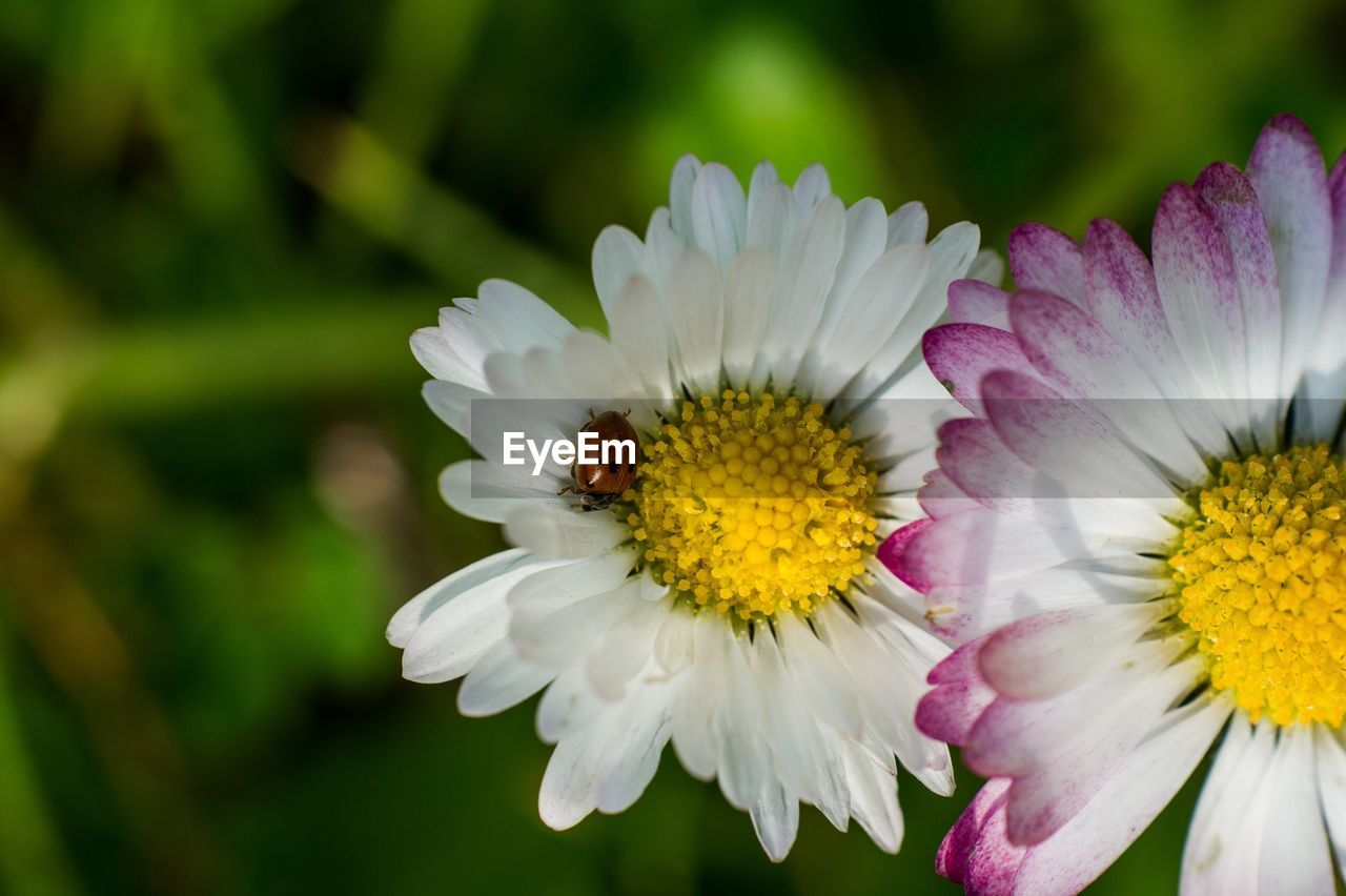 flower, flowering plant, petal, fragility, vulnerability, flower head, freshness, beauty in nature, inflorescence, plant, growth, close-up, pollen, insect, invertebrate, animal, animal themes, one animal, bee, white color, pollination, no people, purple, gazania
