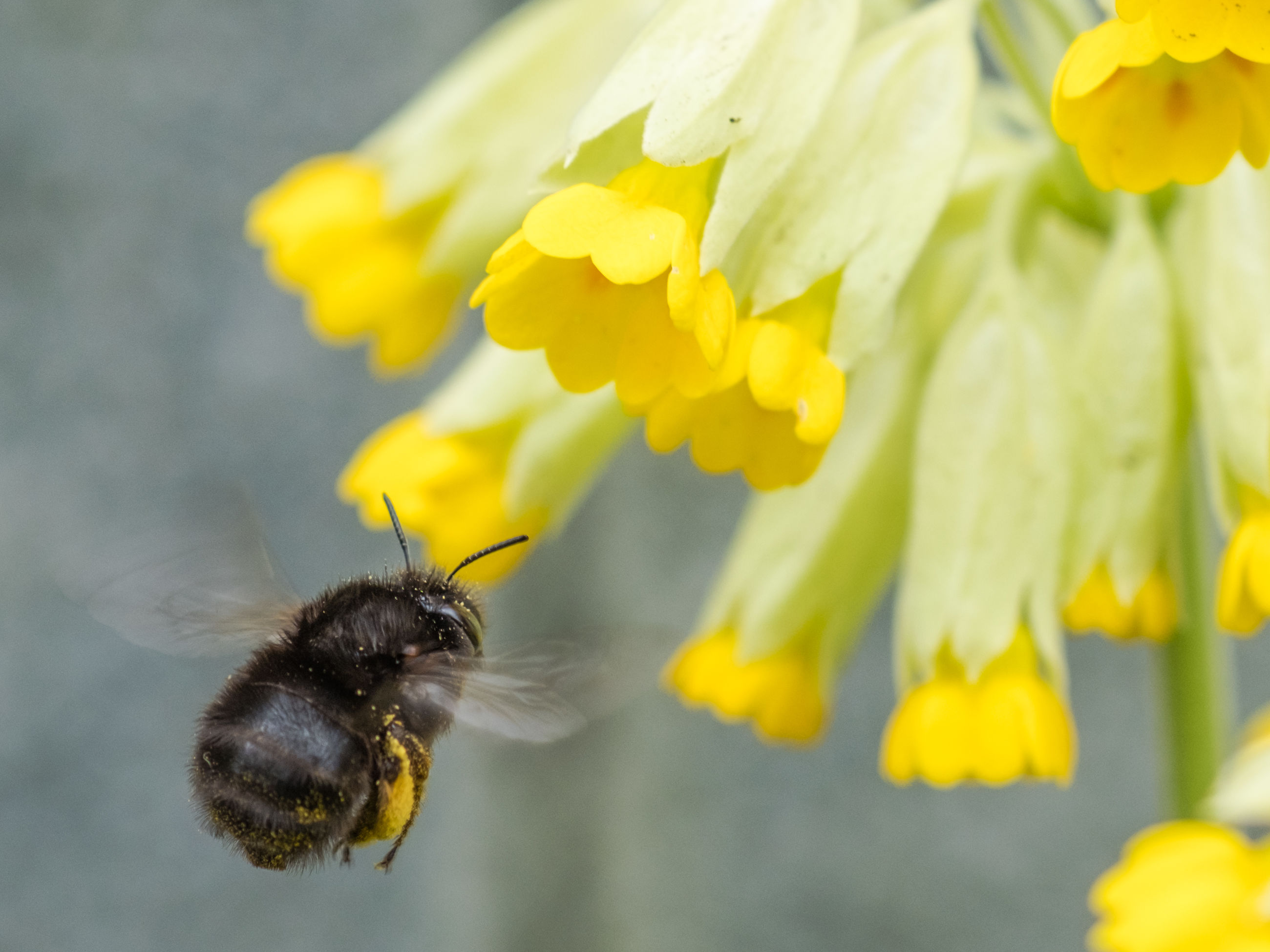 Close-up of bee hovering on flower