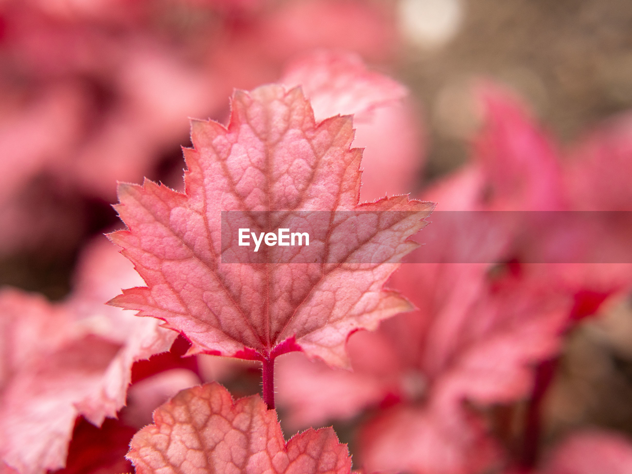CLOSE-UP OF RED MAPLE LEAVES ON PINK FLOWER