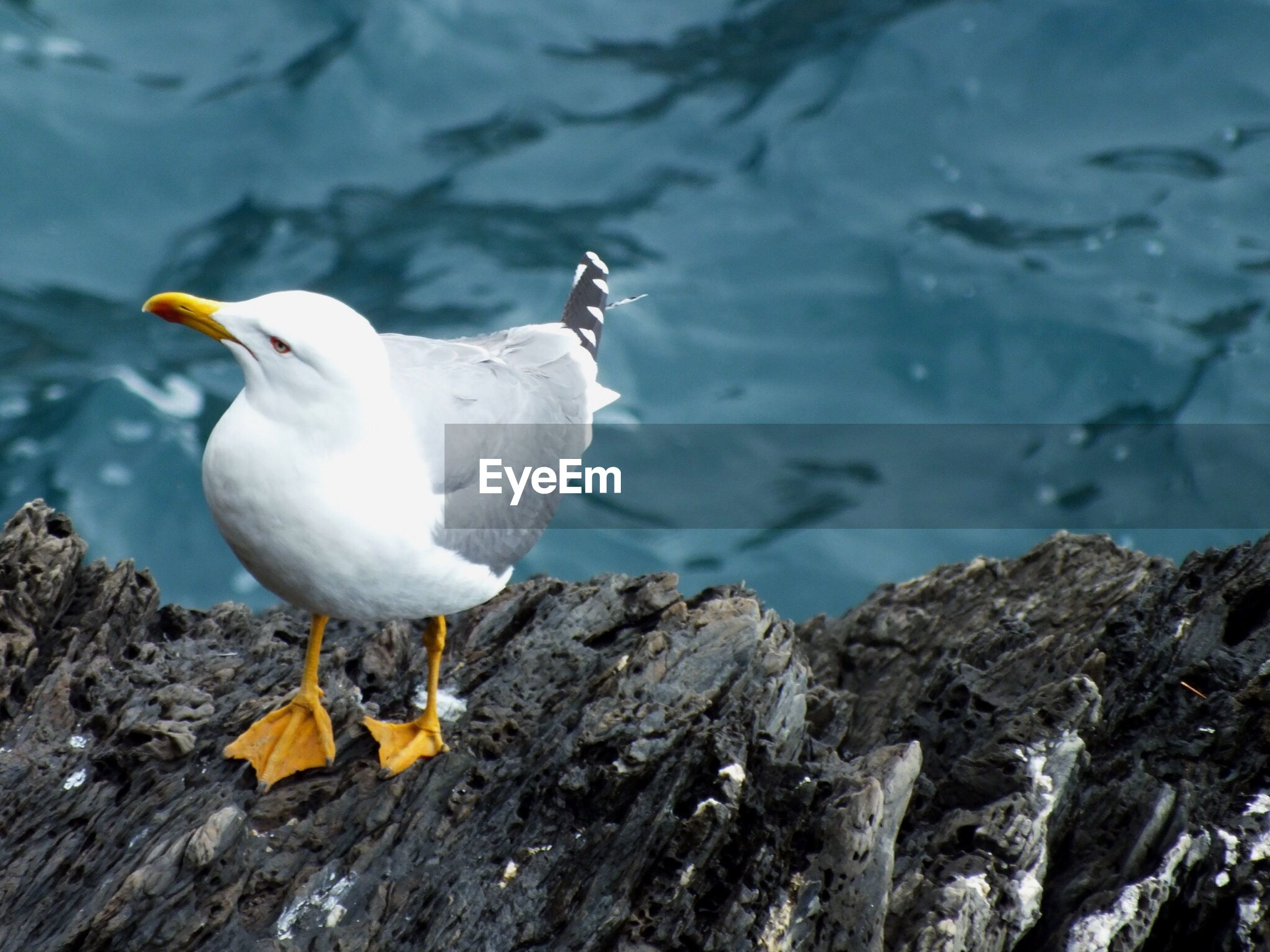 High angle view of seagull perching on rock over lake