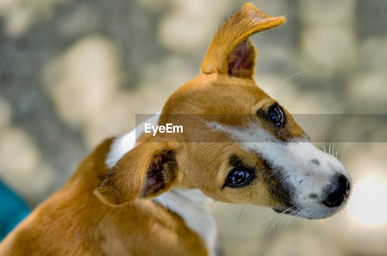 mammal, one animal, animal themes, dog, canine, animal, vertebrate, domestic animals, focus on foreground, domestic, pets, looking, close-up, looking away, no people, animal body part, day, outdoors, brown, animal head, jack russell terrier