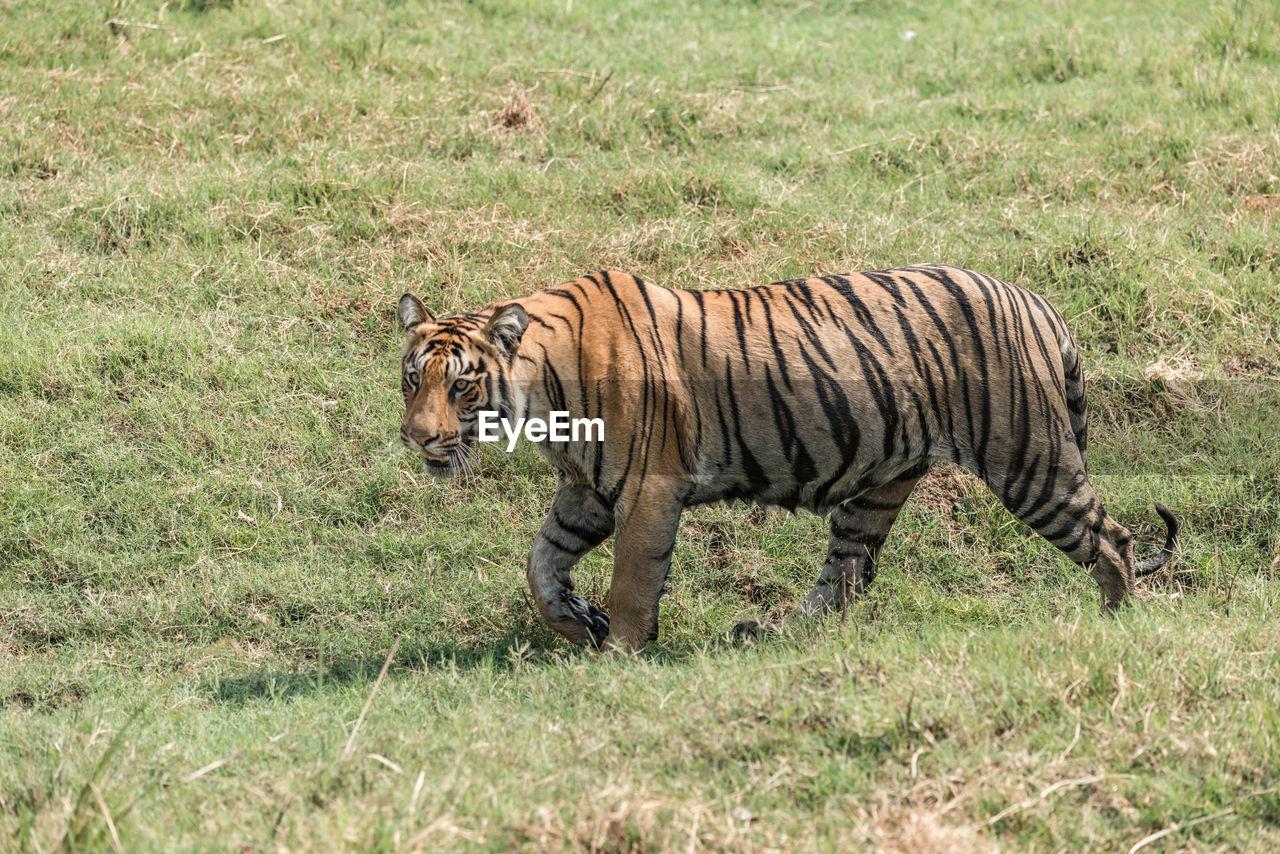 Tiger walking on field