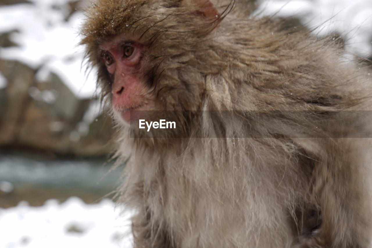 Monkey On Snow