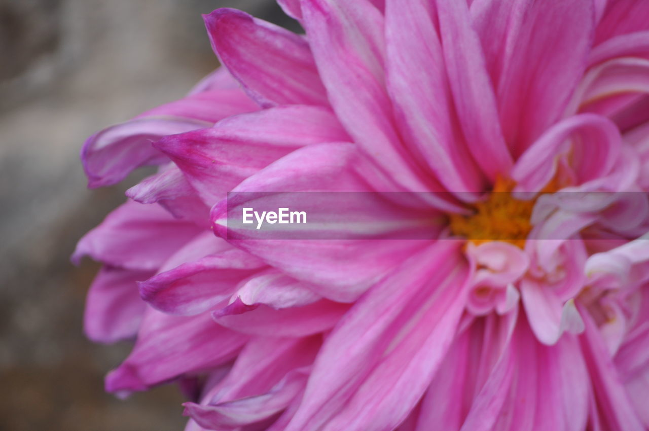 flower, petal, flower head, nature, beauty in nature, no people, fragility, pink color, close-up, plant, freshness, outdoors, blooming, day, growth