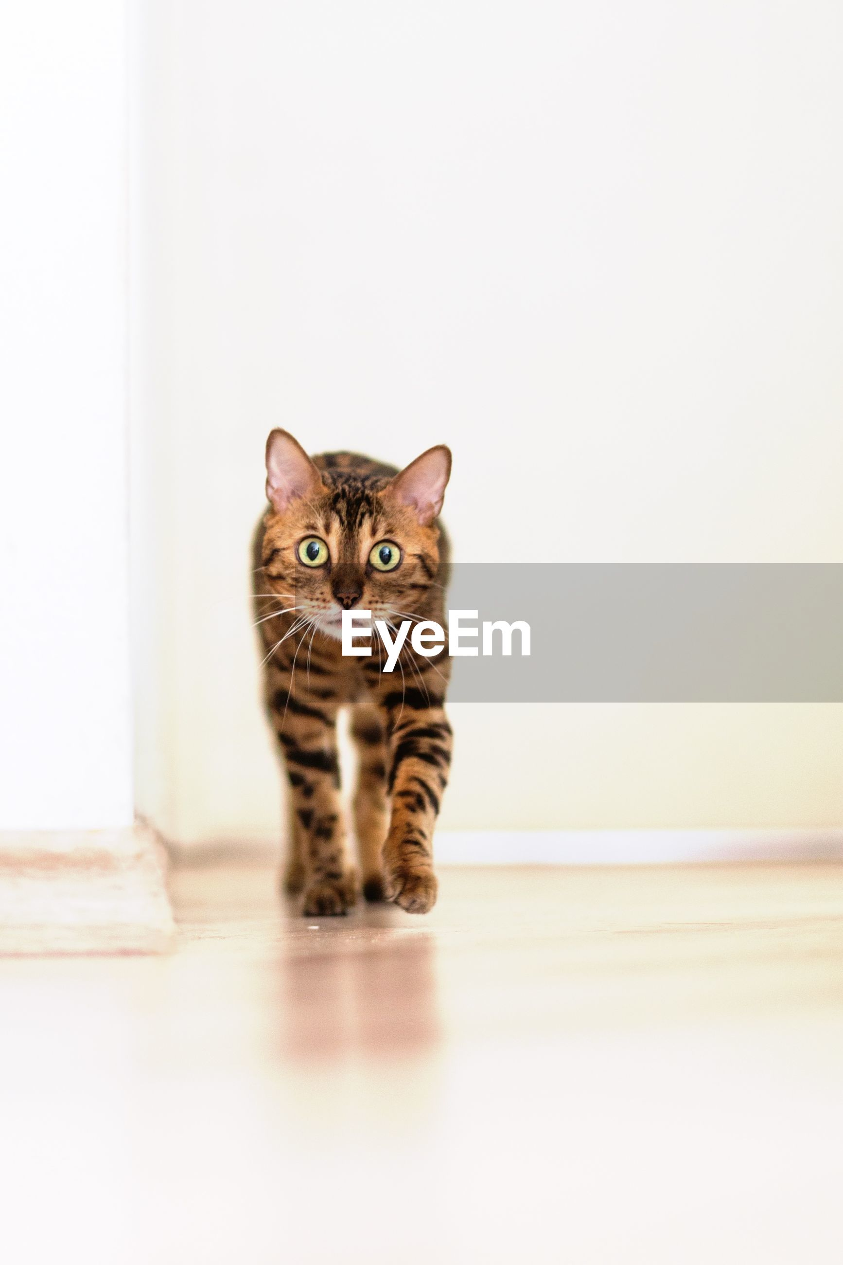 domestic cat, cat, pets, domestic animals, feline, one animal, animal themes, mammal, portrait, indoors, whisker, looking at camera, copy space, alertness, staring, wall - building feature, sitting, front view, animal head