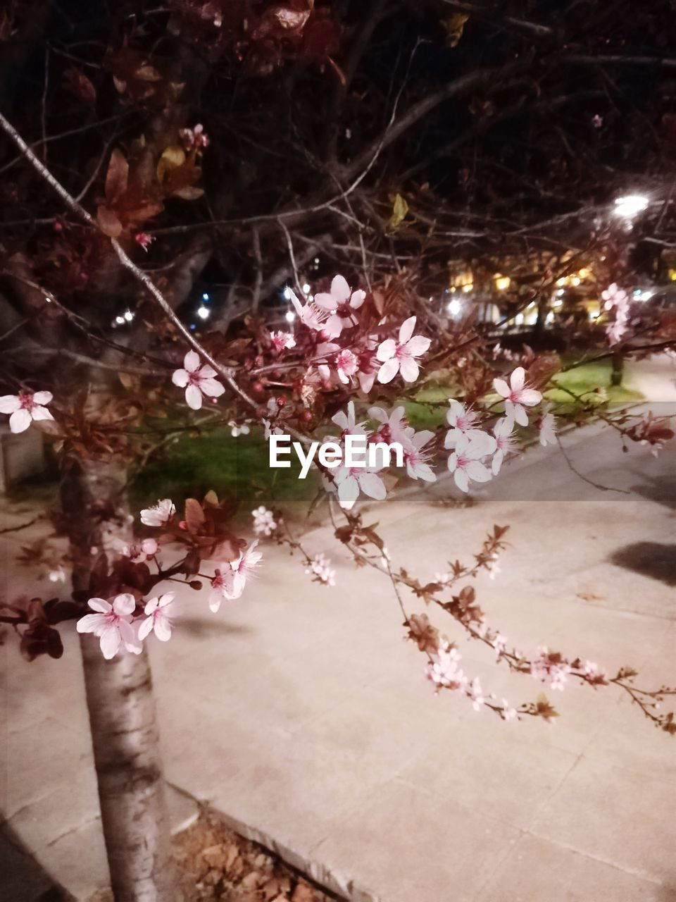 plant, flower, flowering plant, tree, freshness, nature, beauty in nature, growth, fragility, vulnerability, no people, pink color, night, illuminated, close-up, springtime, outdoors, branch, blossom, cherry blossom, cherry tree