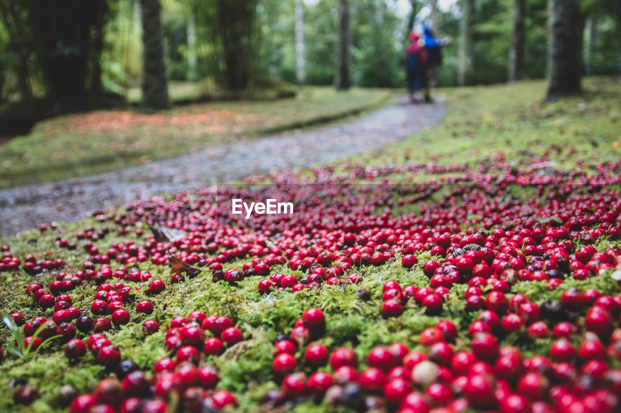 plant, selective focus, day, land, nature, tree, beauty in nature, growth, freshness, red, flower, flowering plant, leaf, real people, abundance, park, plant part, outdoors, incidental people, park - man made space, surface level