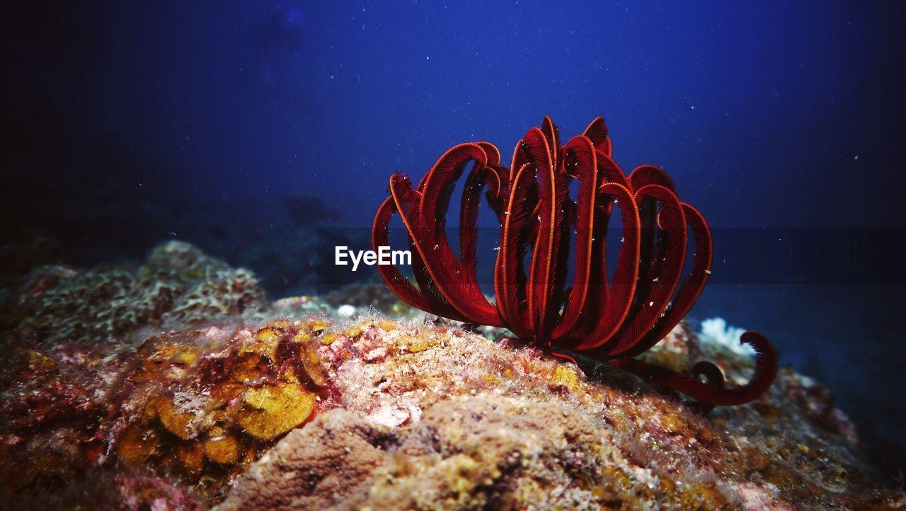 Red coral on ocean floor