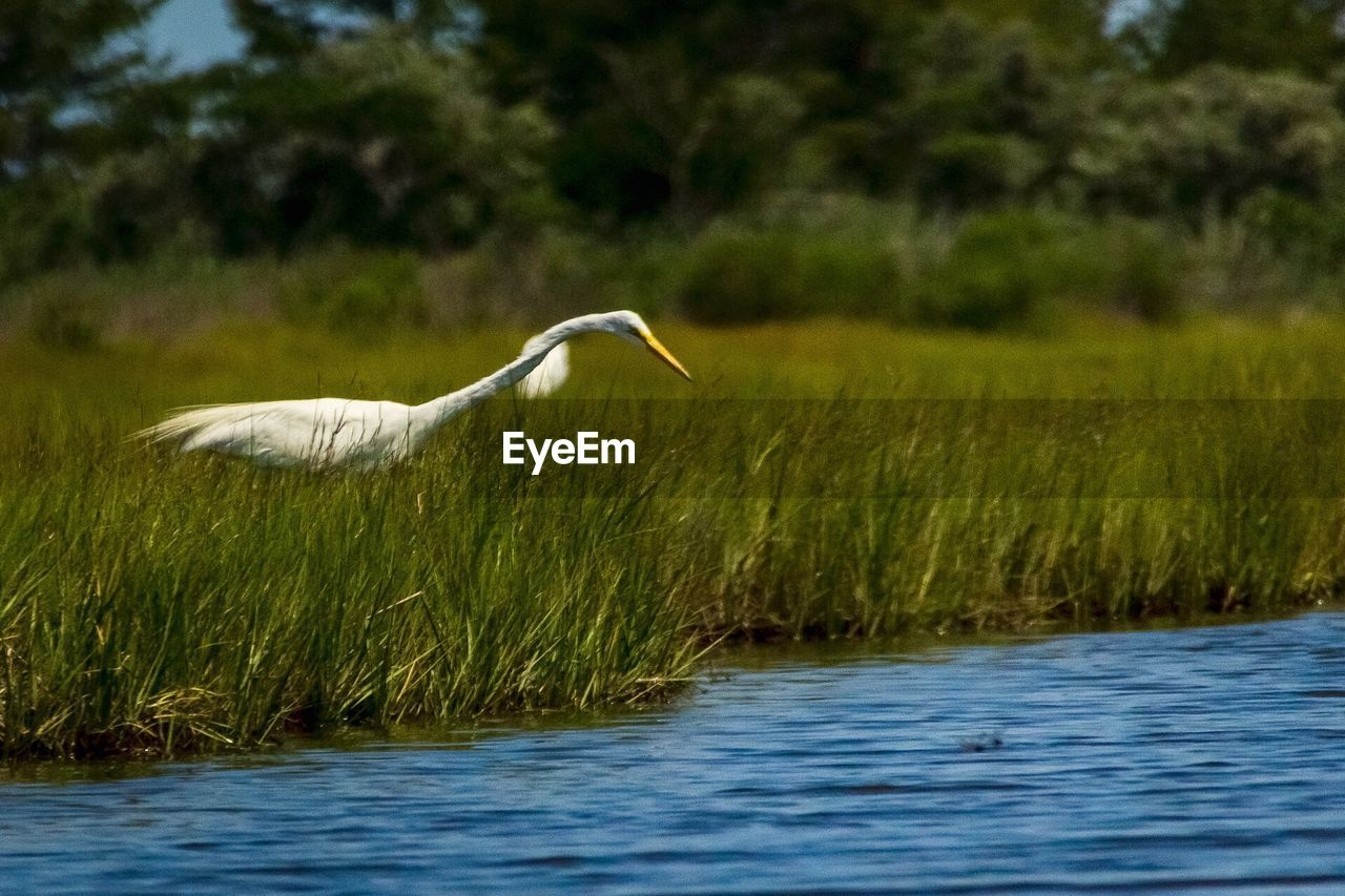 Egret Standing On Grassy Field By River