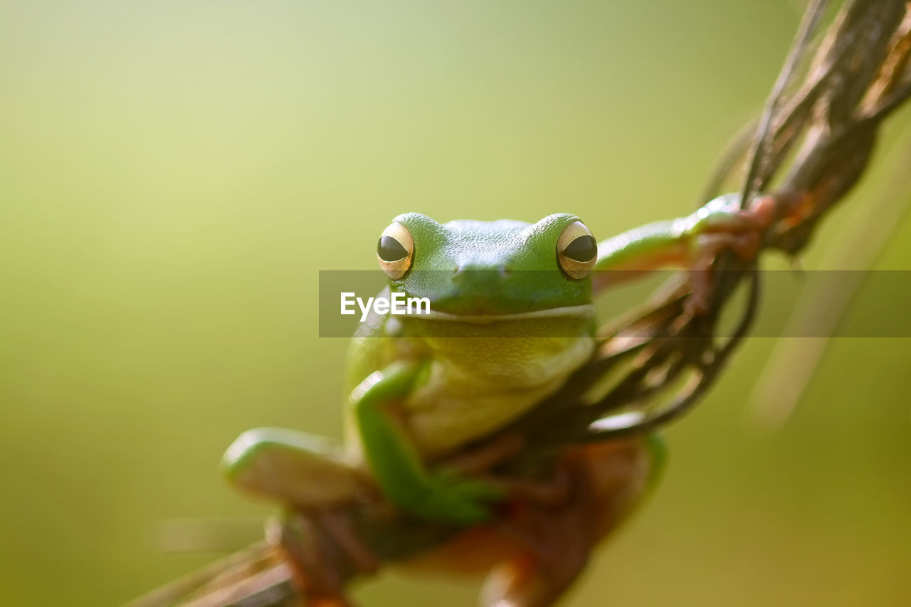 animal themes, one animal, animal, animal wildlife, animals in the wild, green color, vertebrate, close-up, selective focus, amphibian, frog, no people, animal body part, nature, plant, day, animal head, outdoors, eye, animal eye, mouth open