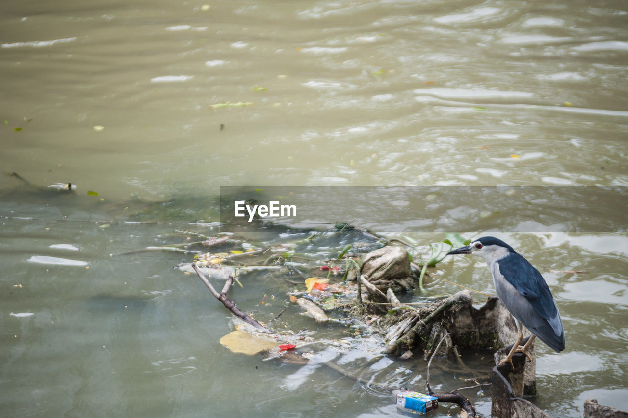 High angle view of black-crowned night heron perching on metal in contaminated river
