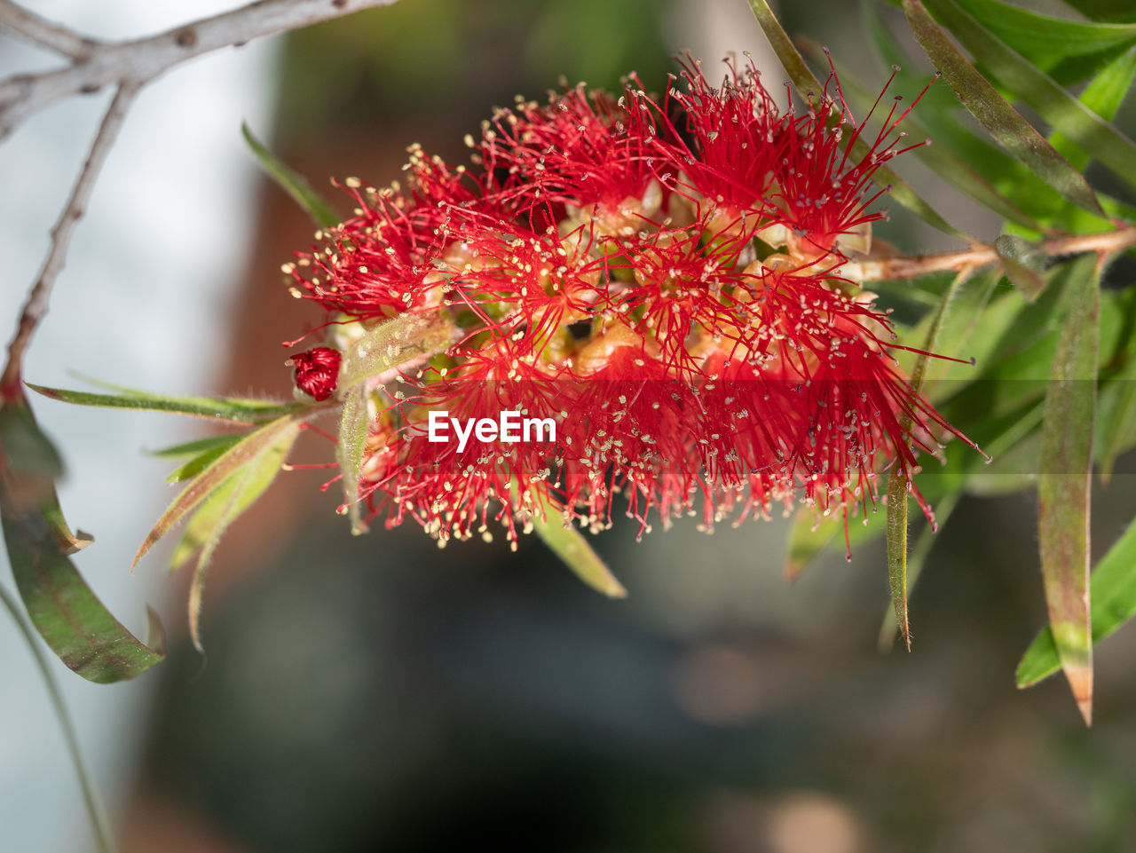 plant, red, growth, close-up, beauty in nature, focus on foreground, no people, nature, freshness, day, vulnerability, fragility, flower, flowering plant, plant part, selective focus, petal, leaf, food and drink, outdoors, pollen, flower head