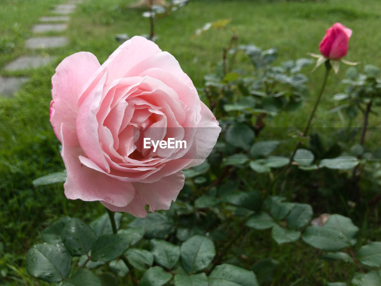 flower, flowering plant, plant, beauty in nature, freshness, petal, pink color, close-up, rose, inflorescence, flower head, fragility, rose - flower, vulnerability, growth, nature, focus on foreground, leaf, plant part, no people, outdoors, springtime