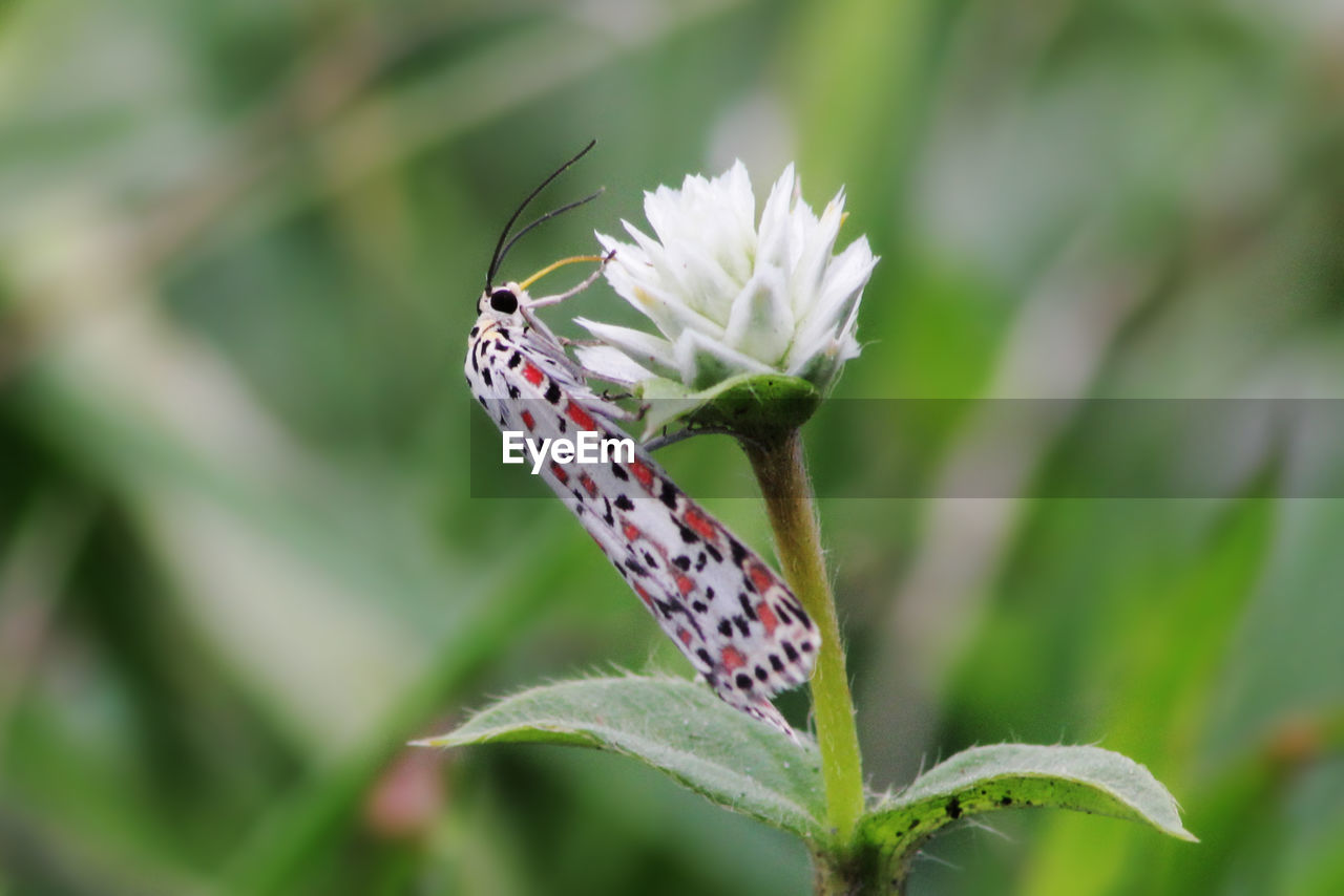 invertebrate, insect, animals in the wild, animal wildlife, one animal, animal themes, animal, beauty in nature, plant, flower, close-up, flowering plant, butterfly - insect, day, no people, animal wing, vulnerability, focus on foreground, fragility, nature, butterfly, outdoors, pollination, flower head