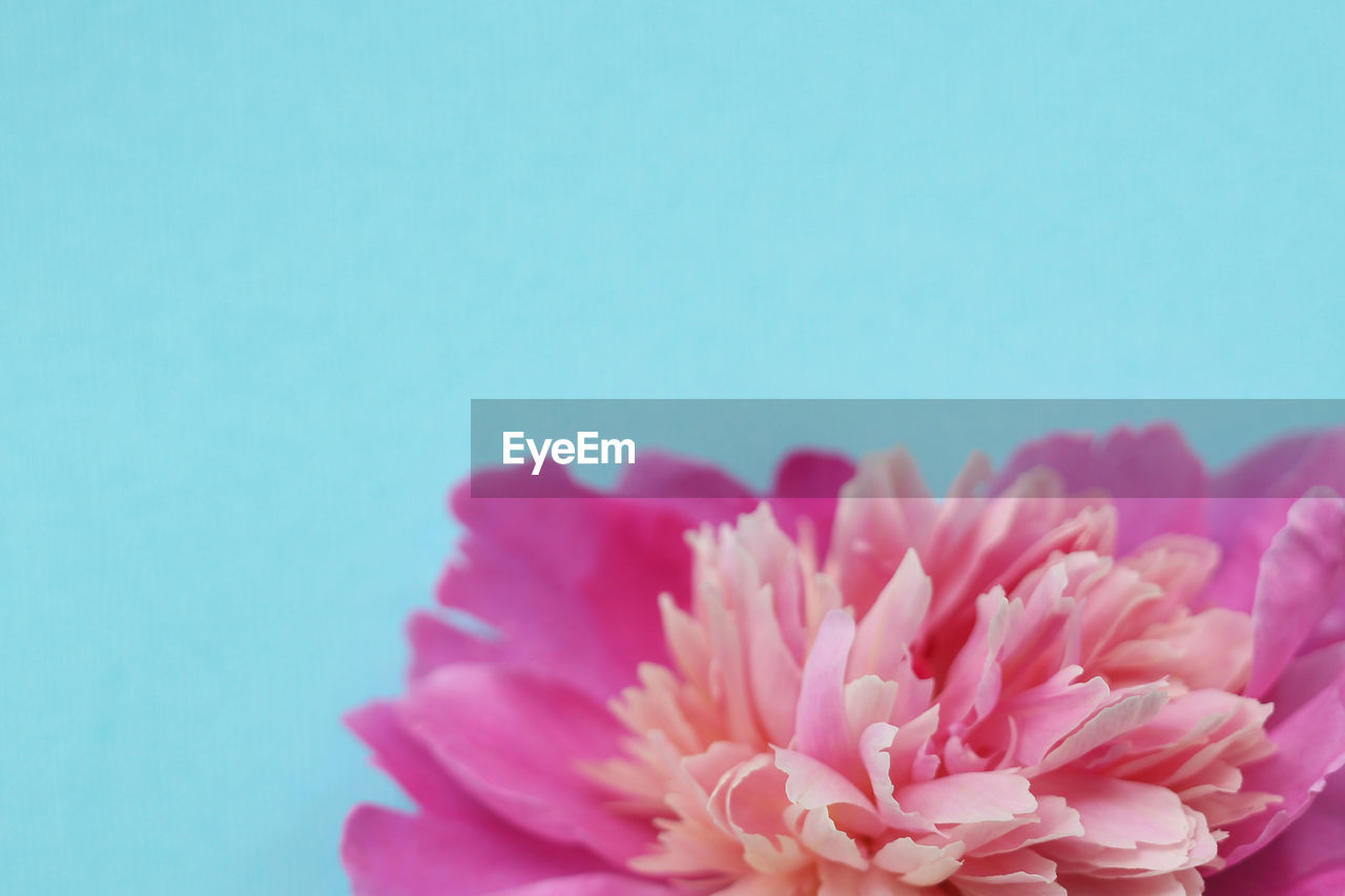 Close-up of pink flower on blue background