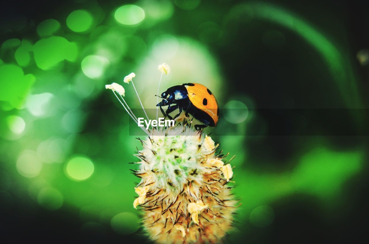 animal themes, insect, animal, one animal, invertebrate, animal wildlife, animals in the wild, close-up, ladybug, beetle, plant, flower, flowering plant, no people, beauty in nature, selective focus, fragility, focus on foreground, nature, vulnerability, outdoors, flower head, pollination