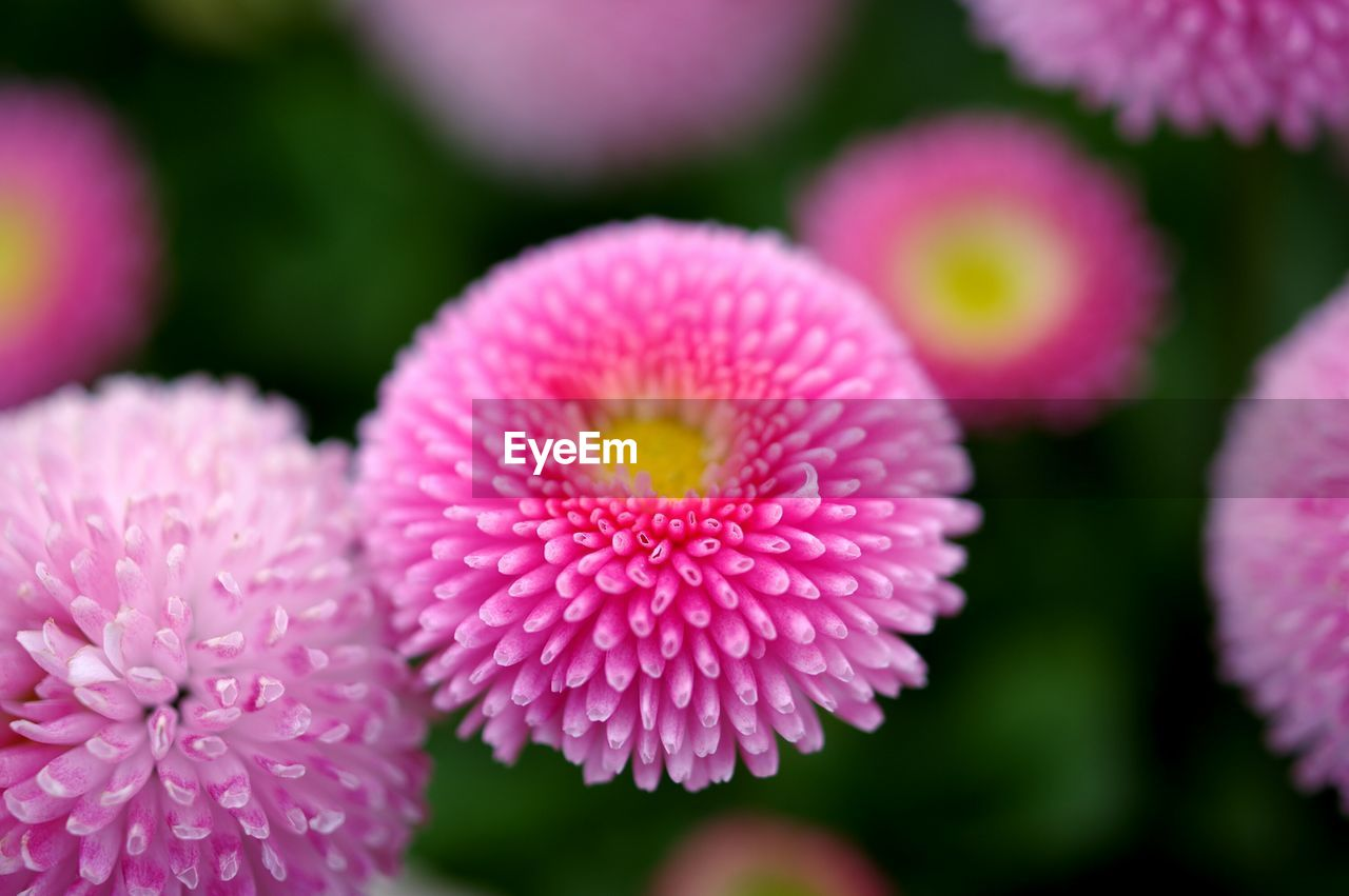 flower, petal, beauty in nature, pink color, growth, flower head, nature, fragility, focus on foreground, close-up, no people, freshness, day, blooming, plant, outdoors