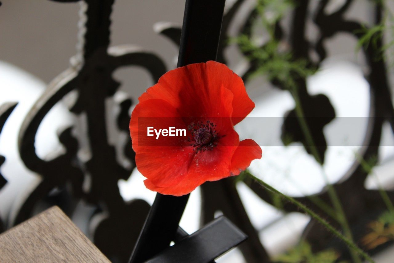 flower, petal, flower head, beauty in nature, focus on foreground, growth, freshness, close-up, plant, fragility, nature, poppy, no people, red, day, blooming, outdoors